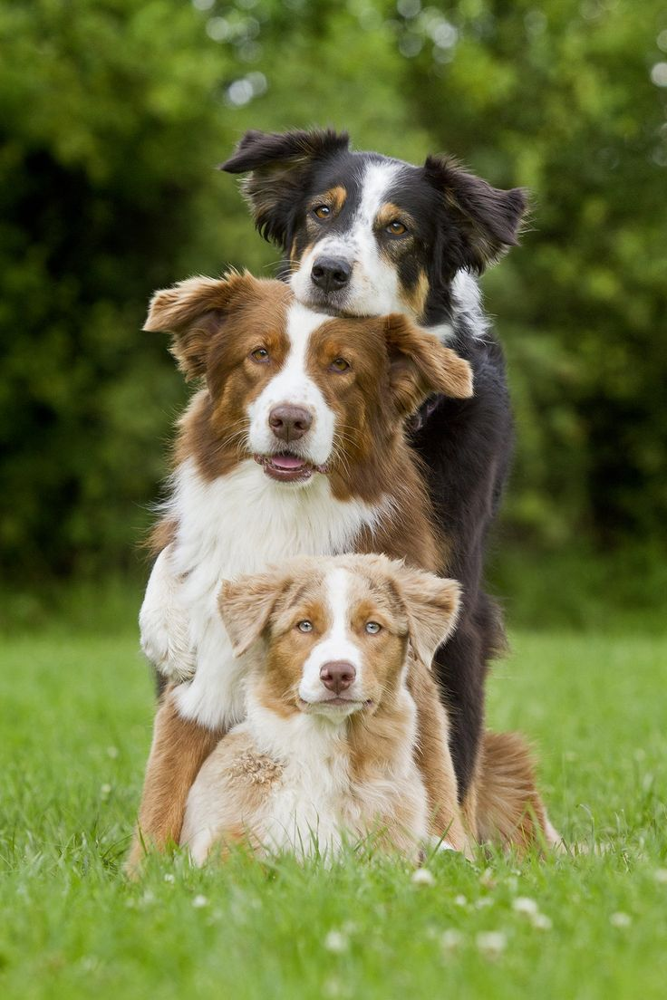 Aussie Group by Daria Kusch on 500px Cute and extremely smart, you know it just doesn't seem fair.