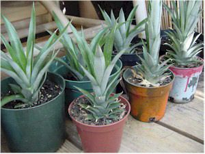 Our collection of potted pineapple crowns once the roots have grown