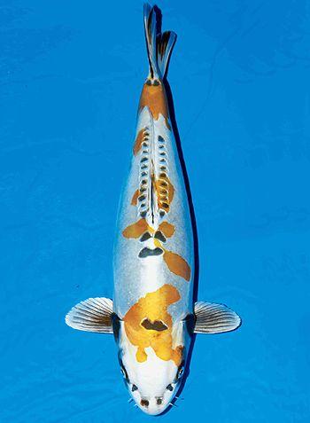 17 best images about koi pond on pinterest koi carp for Expensive koi carp