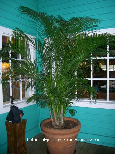 How to Grow Palm Trees, Info for Growing Palms--for outdoors in summer...indoors in winter?