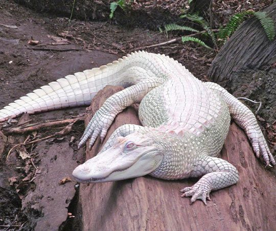 Beautiful Albino Alligator, let's get one of those in the pond!