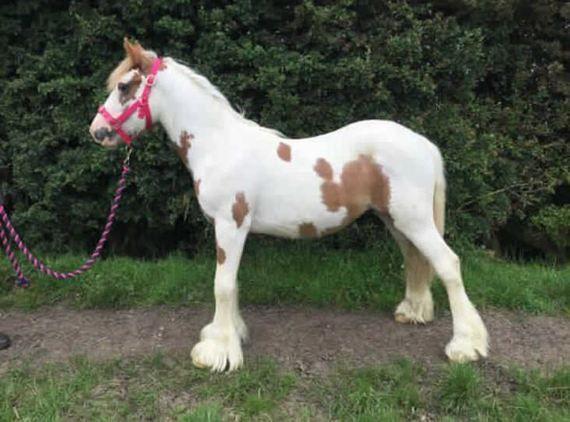 Cobs horse - 1 yr 0.0 hh Skewbald - North Humberside Cobs for sale in North Humberside, North East!