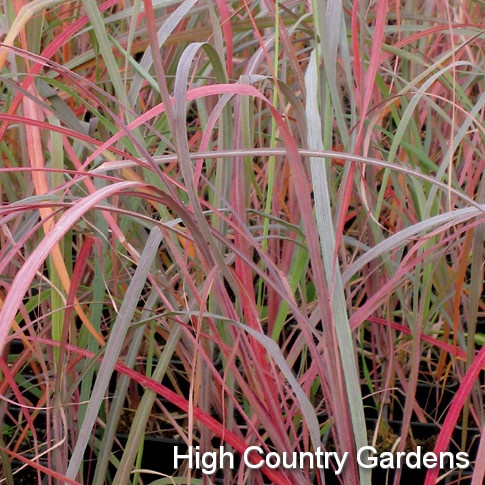 hardy ornamental grass with great fall color