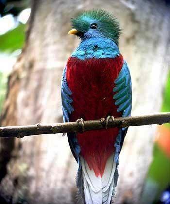 El Ave Quetzal: Quetzali Hermosa pluma