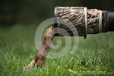 A Red Squirrel (Sciurus vulgaris).Red Squirrel inspecting a camera lens.The squirrel is standing on its back legs doing a close inspection of the front element of a 500mm telephoto lens.