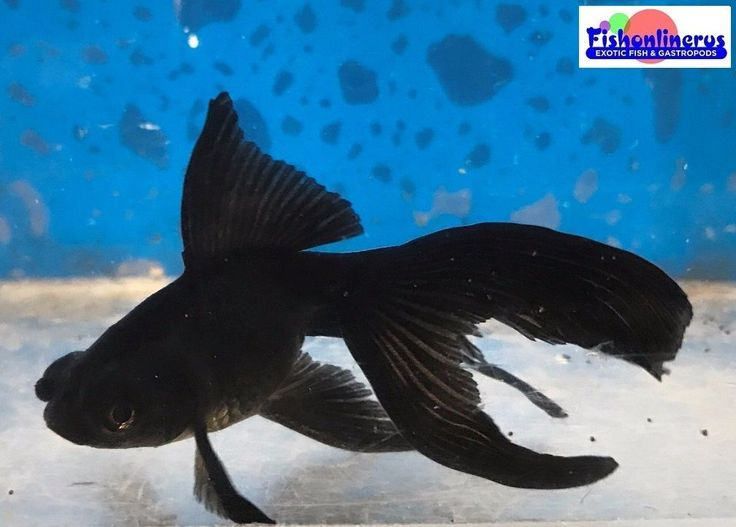 Black Dragon Eyes VeilTail Goldfish