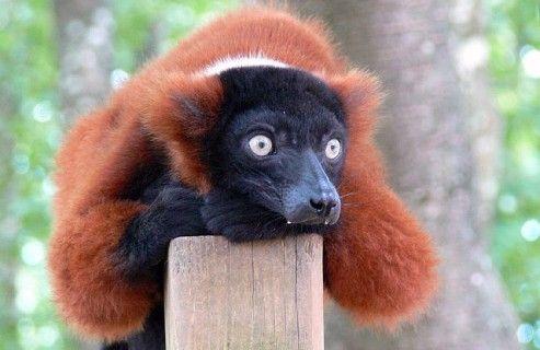 Красный лемур вари   Лемур, Животные, Живность