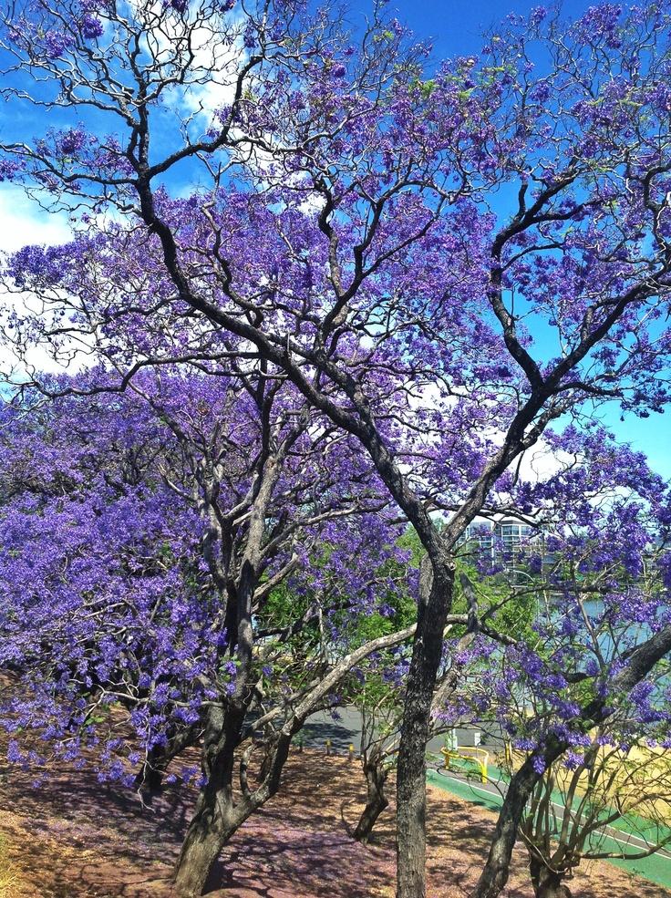 Jacarandas in bloom, October 2012