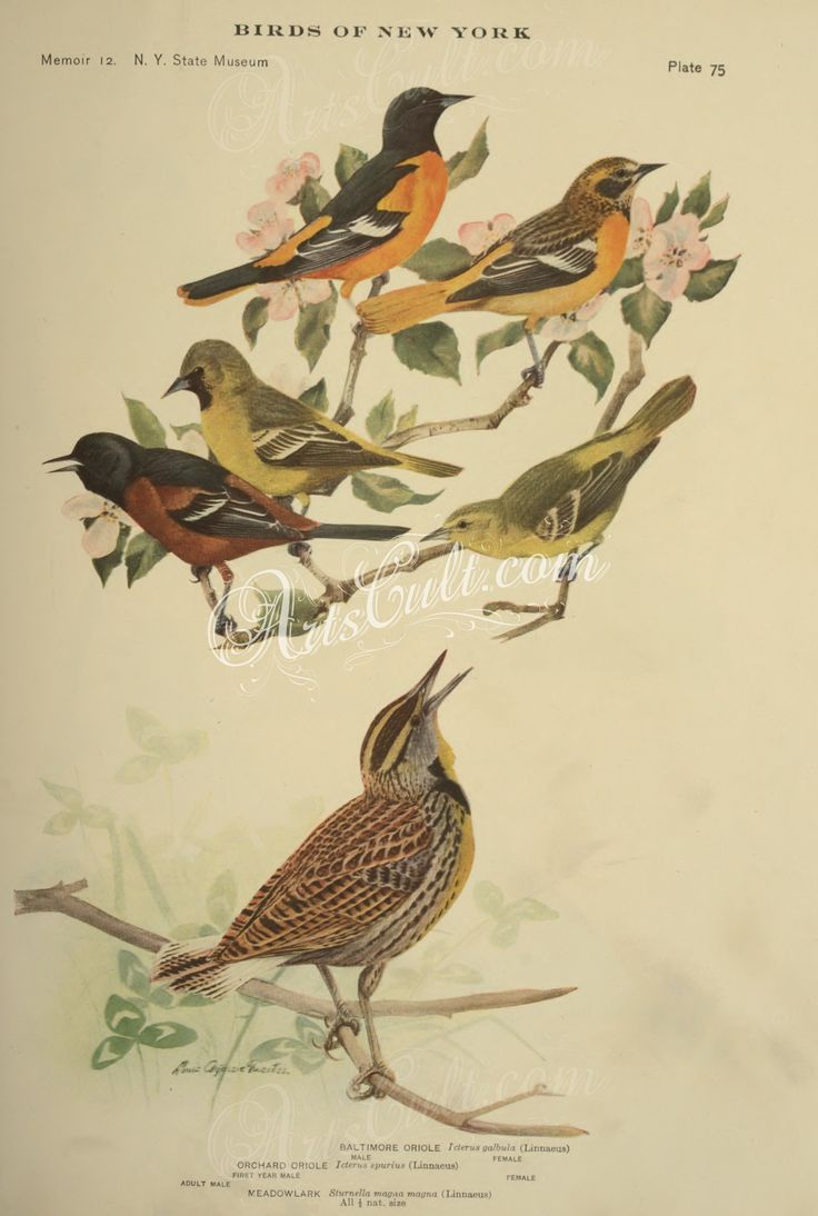 best 25 baltimore orioles birds ideas on pinterest oriole bird