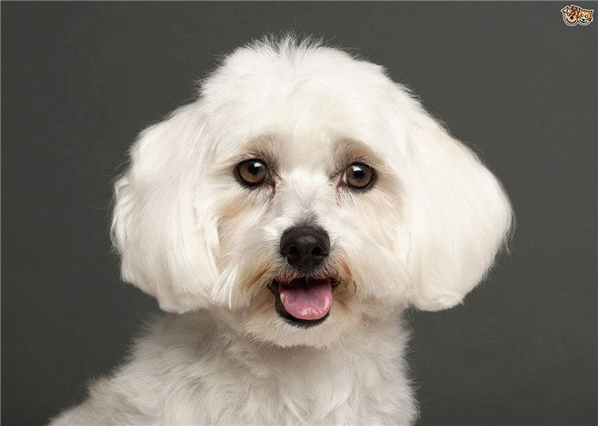 What breed of dog is a maltese? Facts and Pictures