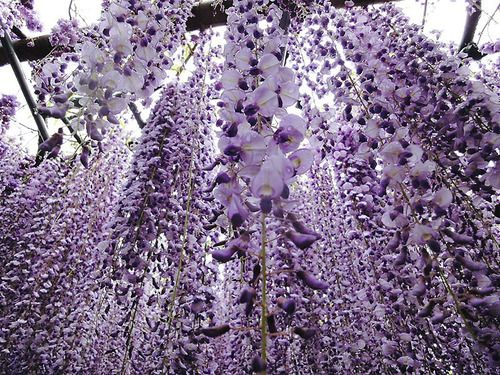 ♔ Enchanted Fairytale Dreams ♔: Cherries Blossoms, Wisteria Flower, Japan, Wisteria Tunnel, Fuji Gardens, Beauty Place, Kawachi Fuji, Flower Tunnel, Flower Plants