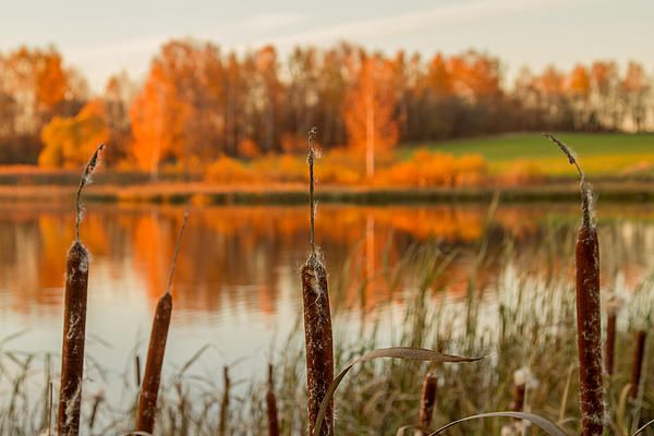 Reedmace at the sunset