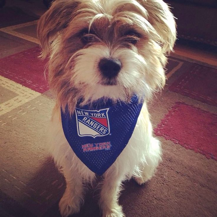 049d709da6a NHL New York Rangers Pet Jersey, Medium Cali showing her New York Rangers  pride All Star Dogs ...