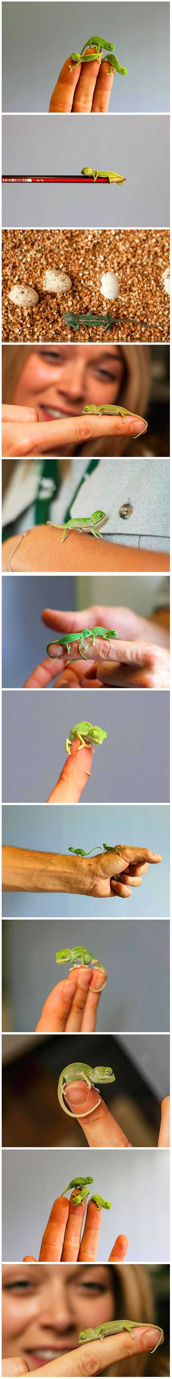 If you've ever had any doubt about how cute reptiles can be, let us end those doubts right now. This gang of more than 20 baby chameleons, recently hatched at Taronga Zoo in Sydney, Australia, is one of the cutest band of curious explorers that we've ever seen.