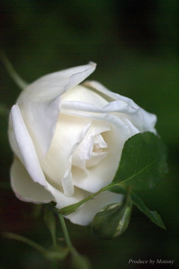 White Rose                                                                                                                                                                                 Mais                                                                                                                                                                                 Mais