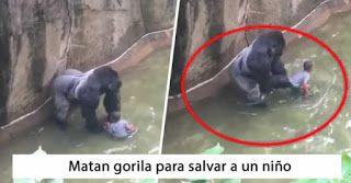 Lo Que Yo Opino: Matan a gorila para salvar a niño en zoológico de ...