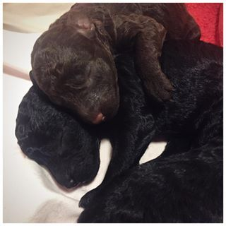 These kid poodle siblings, who know that the art of spooning is sacred. | 18 Newborn Puppies Ready To Take On The World