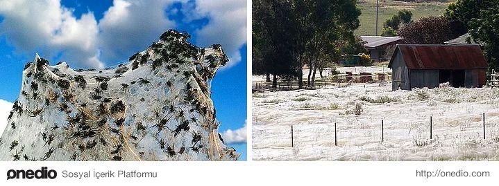 Sürreal örümcek ağları: Avustralya'nın Wagga Wagga bölgesinde sel sularından kaçan binlerce örümcek çok büyük bir alanı ağlarla kaplamaktadır.