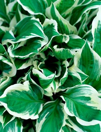 Hosta low maintenance plants outdoor living pinterest for Low maintenance outside plants