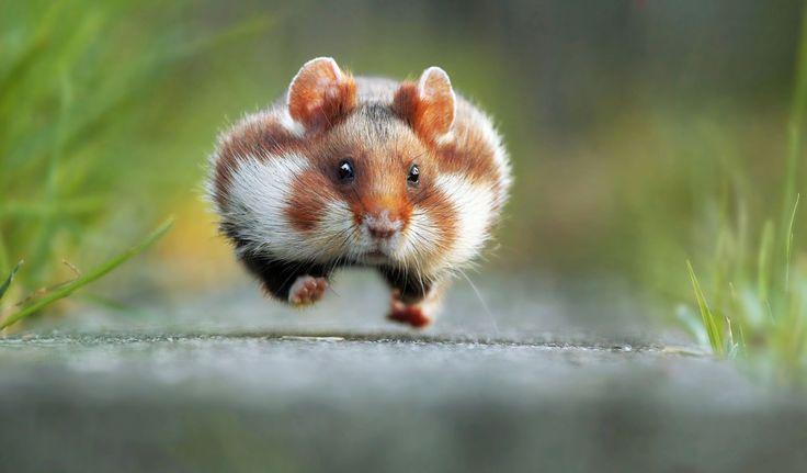 "Winner - Funniest Wild Animal Photos of 2015  - ""Rush Hour"" by Julian Rad -  CountryLiving.com"