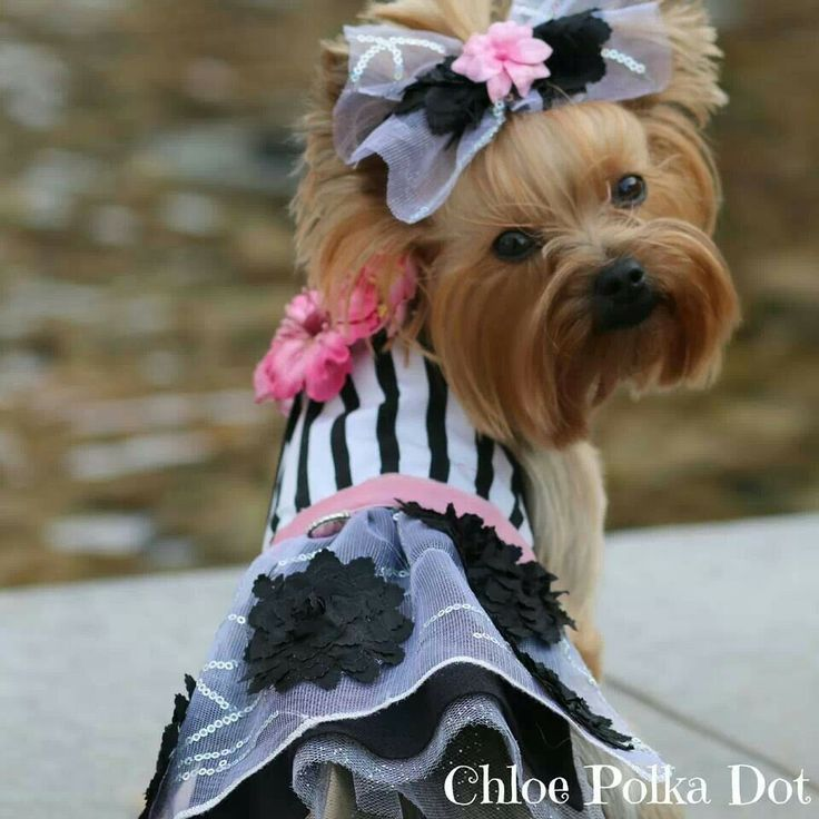 214 Best Images About Yorkie Evening-wedding Dress And