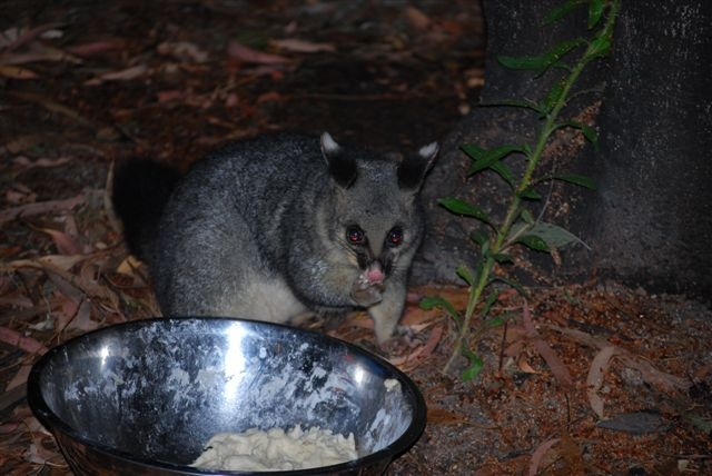 POSSUM - SEE OUR SLIDESHOW OF AUSTRALIAN NATIVE ANIMALS, LANDSCAPES & SCENERY AT MUDGEE NSW