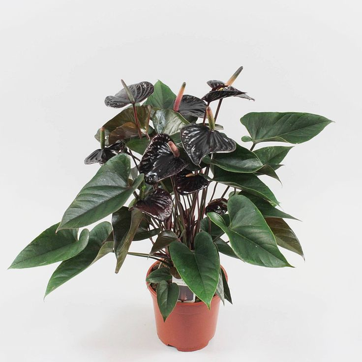 Anthurium andr. Black Beauty Ø17cm