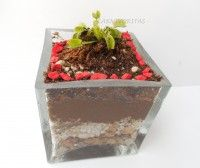 Venus flytrap Terrarium / Terrario de venus atrapamoscas