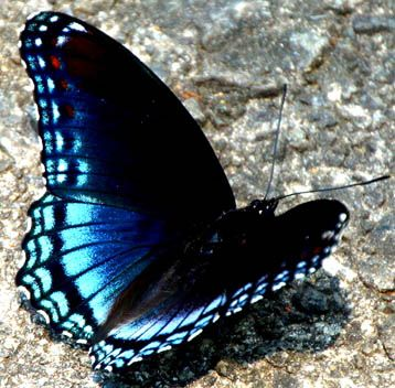 Black Butterfly with Blue Markings   glowing blue & black ... Cute Asian White Baby