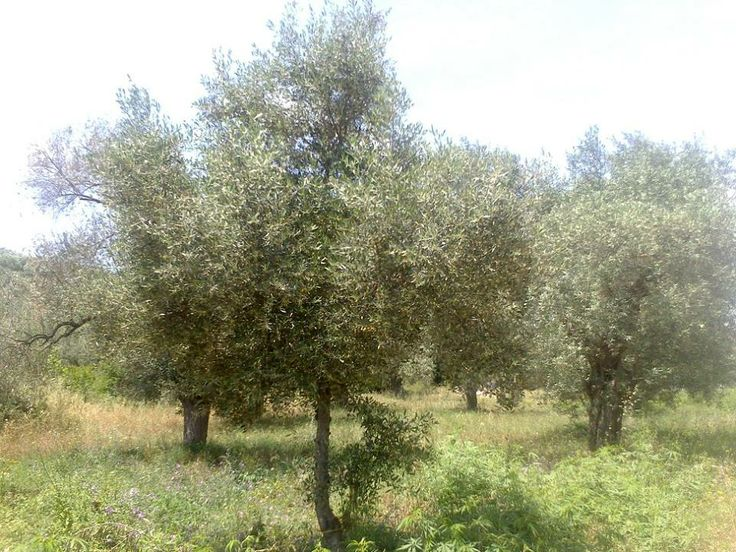 Countless olive trees in Pelion Greece, in Platanias area. Pelion is a place well known for its olives... #olive #olivetree #olivegroves #greece #nature #olivetouch