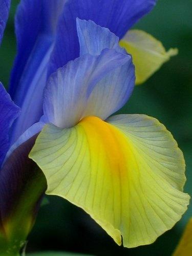 Dutch Iris - yellow and blue by Jennifer Wheatley-Wolf ▓█▓▒░▒▓█▓▒░▒▓█▓▒░▒▓█▓ Gᴀʙʏ﹣Fᴇ́ᴇʀɪᴇ ﹕ Bɪᴊᴏᴜx ᴀ̀ ᴛʜᴇ̀ᴍᴇs ☞  http://www.alittlemarket.com/boutique/gaby_feerie-132444.html ▓█▓▒░▒▓█▓▒░▒▓█▓▒░▒▓█▓