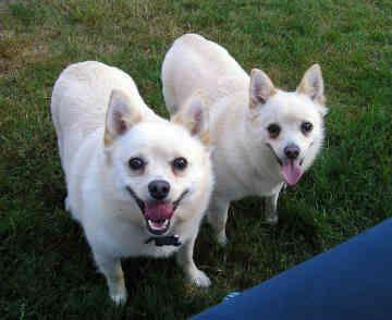 schipperke dog photo | schipperkes schipperkes dogs skipper jazzy back 23 of 53 next