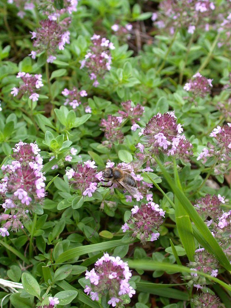 Timo selvatico (Thymus serpyllum L.) - Brienzersee, Canton Bern, Switzerland