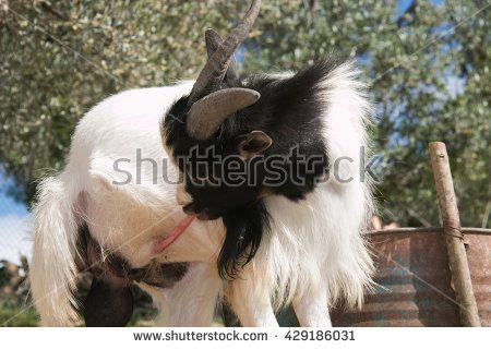 Funny portrait of goat licking his penis. #Goat #Tibetan #Animal #Farm #Penis #Funny #Crazy #Male #Virility #Nature #TIbetanGoat