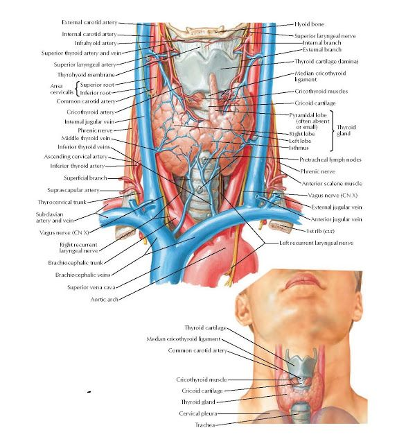 Thyroid Gland Anterior View Anatomy