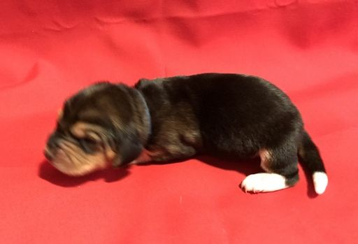 Litter of 9 Basset Hound puppies for sale in LEXINGTON, KY. ADN-63381 on PuppyFinder.com Gender: Male. Age: 1 Week Old