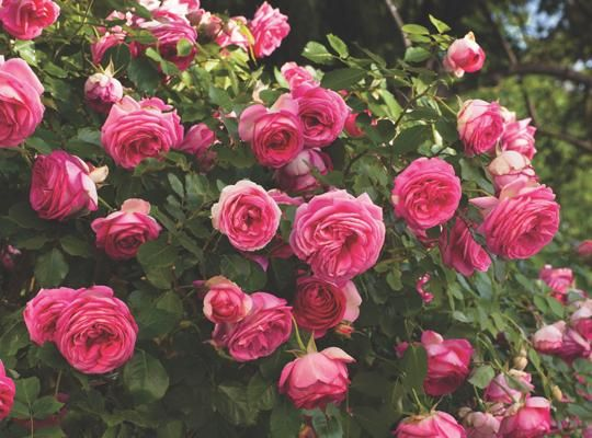Pretty In Pink Eden® exhibits all the same great qualities of the Eden® Rose, but is deep pink in color. Description from pikenursery.com. I searched for this on bing.com/images