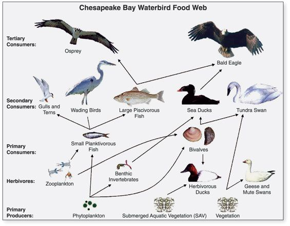 A food chain as popularized in Charles Elton's Animal Ecology, 1927