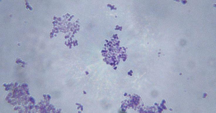 Como se curar de uma infecção por Staphylococcus aureus. Staphylococcus aureus, ou Estafilococo dourado, é o agente mais comum de uma infecção por estafilococos, sendo encontrado geralmente no nariz e na pele. Esses microorganismos podem causar uma série de doenças, incluindo impetigo, furúnculos, abscessos, pneumonia, meningite, síndrome do choque tóxico e septicemia. As infecções por estafilococos ...