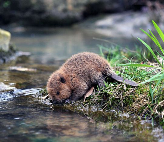 Incredibly cute baby-beaver