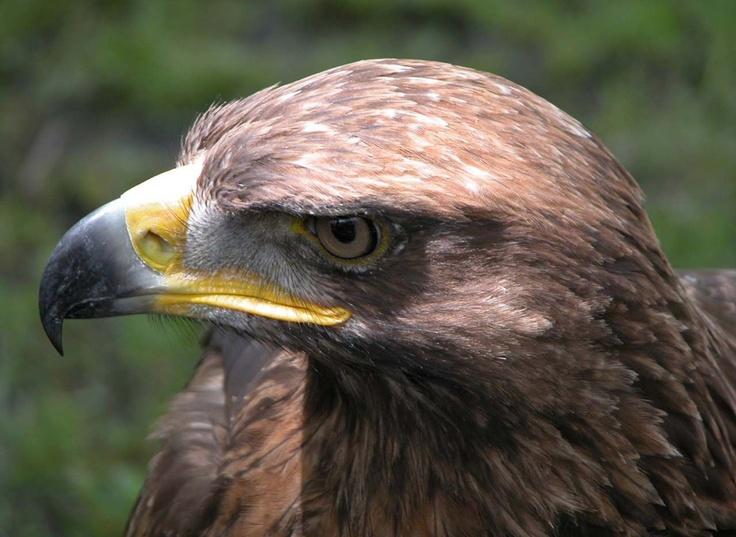 Fotos de águilas