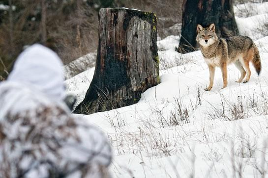 Coyote Calling Tips: The 4 Types of Calls You Need to Know | Outdoor Life