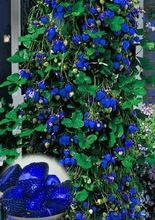 500pcs Blue Climbing Strawberry seeds tree Seed,very delicious Fruit Seeds For Home & Garden bonsai seeds plant pot(China (Mainland))