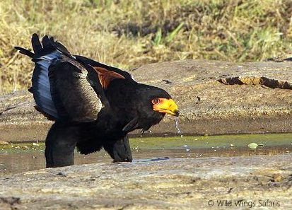 A majestic bataleur comes to drink at one of the limited winter waterholes in #Kruger National Park.