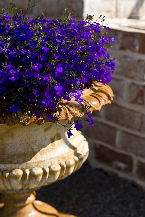 LOVE LOBELIA!! Purple flowers in a pot © Brian Jannsen Photography