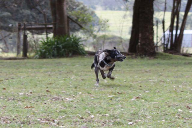 Gumtree Dogs For Sale Mildura