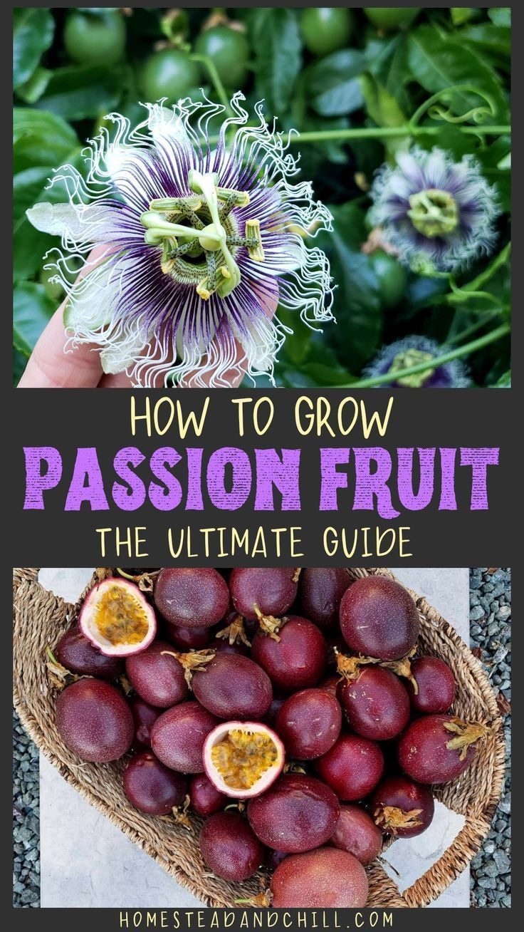 How To Grow Purple Passion Fruit Vs Maypops The Ultimate Guide Homestead And Chill Growing Passion Fruit Passion Fruit Plant Fruit Garden