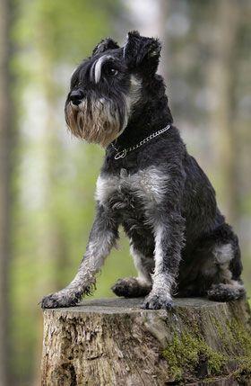 Der Mittelschnauzer gilt als guter und zuverlässiger Wachhund.