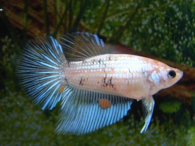 how to cure fin rot in betta fish