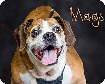 Somerset, PA - English Bulldog/Beagle Mix. Meet Mags, a dog for adoption. http://www.adoptapet.com/pet/18623144-somerset-pennsylvania-english-bulldog-mix